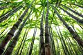 Rice paddy amd sugarcane green and in growth Royalty Free Stock Photos