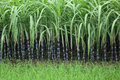 Rice paddy amd sugarcane green and in growth Stock Photo