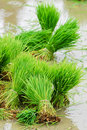 Rice in paddy field Stock Images