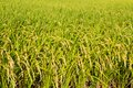 Rice paddy field Stock Photography