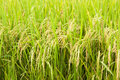 Rice paddy field close up of in a Royalty Free Stock Images