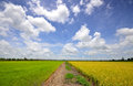 Rice paddy field green and blue sky Royalty Free Stock Photography