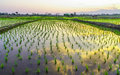 Rice paddy fields in asia countryside in thailand Stock Photos