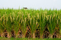 Rice Padi Field Royalty Free Stock Photo