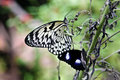 Rice paper butterfly Royalty Free Stock Photo