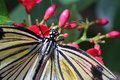 Rice paper butterfly eating nectar macro with wings open from a red flower Stock Image