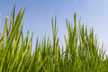 Rice plant against blue sky Royalty Free Stock Photo