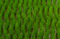 rice plant cultivation Royalty Free Stock Photo