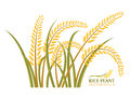 Rice plant isolate on white background vector design