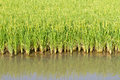 Rice plant in paddy Royalty Free Stock Images