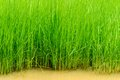 The rice plant is verdant in field of thailand Stock Images