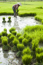 Rice plantation in Laos Stock Images