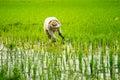 Rice planting a farmer at los banos laguna philippines Royalty Free Stock Photography