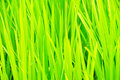 Rice plants macro shot of growing up in a field Stock Photography