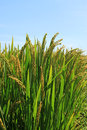 Rice scenery Royalty Free Stock Images