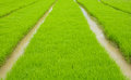 Rice seedling green prepare for transplanting Stock Images