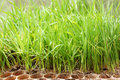 Rice seedlings close up in nursery tray Stock Photo