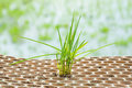Rice seedlings close up in nursery tray Royalty Free Stock Photography