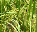 Rice spike close up green color young in field Royalty Free Stock Image