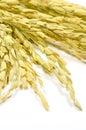 The rice spike thai jasmine oryza sativa economic crops of asia Stock Photos