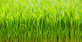 Rice sprouts close up green color background Stock Image