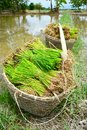 Rice sprouts in farm of thailand Stock Images