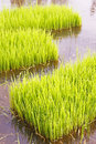 Rice sprouts seedlings in thailand Royalty Free Stock Image