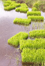 Rice sprouts seedlings in thailand Stock Photo