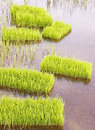 Rice sprouts seedlings in thailand Royalty Free Stock Photos