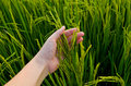 Rice stalk on hand green farmer Stock Photography