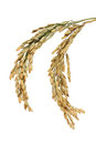 Rice stalks group of over white Royalty Free Stock Images