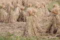 Rice straw filed Royalty Free Stock Images