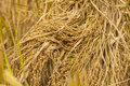 Rice straw texture close up of field on the mountain agriculture in chiengmai thailand Stock Photos
