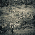 Rice terrace bali in indonesia Stock Photography