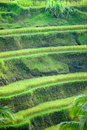 Rice Terrace field, Ubud, Bali, Indonesia. Royalty Free Stock Image