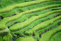 Rice Terrace field, Ubud, Bali,  Indonesia. Stock Photography