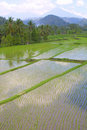 Rice terraces of Asia Royalty Free Stock Photo