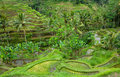 Rice terraces of bali, indonesia Stock Images