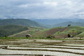 Rice terraces the beautiful scene of in chiang maithailand july Royalty Free Stock Photo