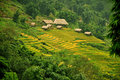 Rice terraces and cottage in sapa vietnam greenish fields landscape Stock Images