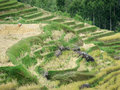 Rice terraces of tana toraja in sulawesi beautiful south indonesia Royalty Free Stock Photography