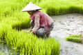 Rice Transplanting in Laos Royalty Free Stock Photo