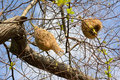 Ricebird nests on the trees in blu sky Royalty Free Stock Photography