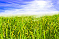 Ricefield Royalty Free Stock Photo