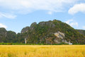 Ricefield Royalty Free Stock Photos