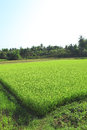 Ricefield with bright shoots of rice Royalty Free Stock Photo