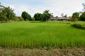 Ricefield rice field near siem reap cambodia Royalty Free Stock Image