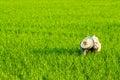 Rices farm view Royalty Free Stock Photo
