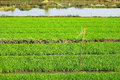 Rices farm view rice is the seed of the monocot plants oryza sativa asian rice or oryza glaberrima african rice as a cereal grain Stock Image