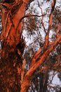 Rich glowing reds, browns, and black, on the bark of a Eucalytus tree at a desert sunset in Western Australia Royalty Free Stock Photo